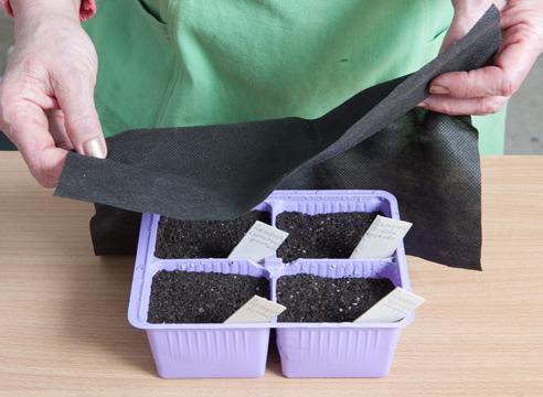 выращивание дельфиниума из семян, как укрыть посевы непрозрачным материалом