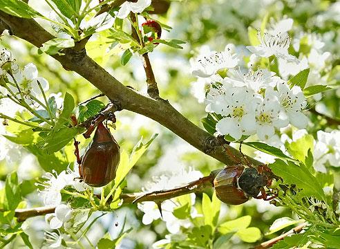 Майский жук, майский хрущ