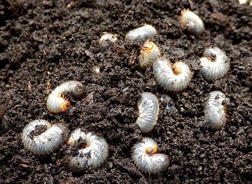 Личинки майскрго жука, майский хрущ