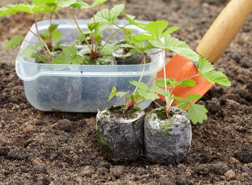 выращивание рассады земляники из семян в торфяных таблетках, готовая к высадке рассада