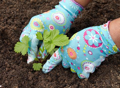 выращивание рассады земляники из семян в торфяных таблетках, посадка рассады земляники