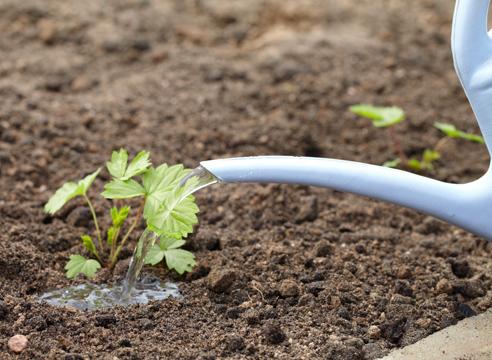 выращивание рассады земляники из семян в торфяных таблетках, полив