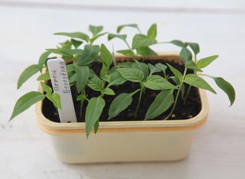рассада перца, выращивание, сеянцы перца готовы к пикировке