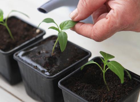 рассада перца, выращивание, полив рассады перца после пикирования