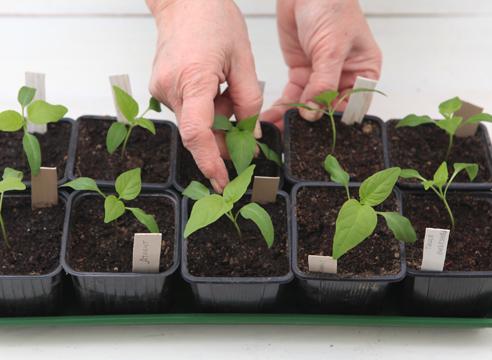 рассада перца, выращивание, как вырастить хорошую рассаду