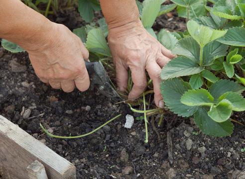 Видео как ухаживать за клубникой после сбора урожая