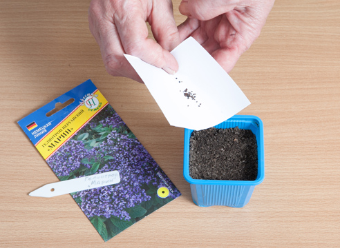 Гелиотроп, выращивание рассады из семян, посев семян