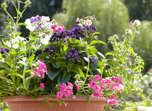 Гелиотроп, выращивание рассады из семян, цветущие гелиотроп и флокс друммонда