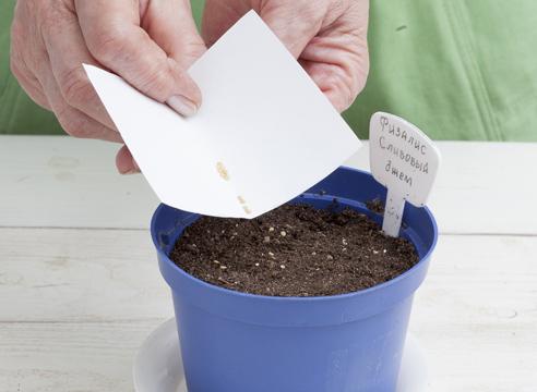 мастер-класс, физалис, выращивание рассады, посев семян на рассаду