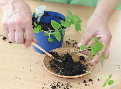 мастер-класс, физалис, выращивание рассады, пикирование рассады