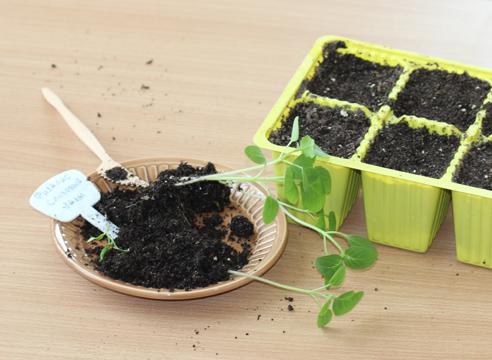 мастер-класс, физалис, выращивание рассады, рассада готова к пикировке