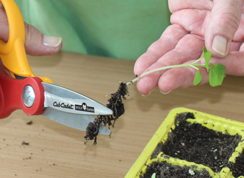 мастер-класс, физалис, выращивание рассады, укорачивание корней сеянца