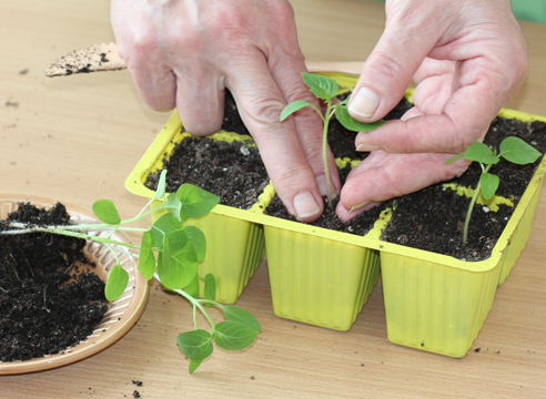 мастер-класс, физалис, выращивание рассады, пикировка сеянцев