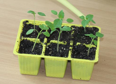 мастер-класс, физалис, выращивание рассады, полив распикированной рассады