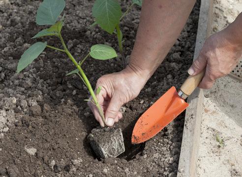 мастер-класс, физалис, выращивание рассады, посадка рассады в грунт