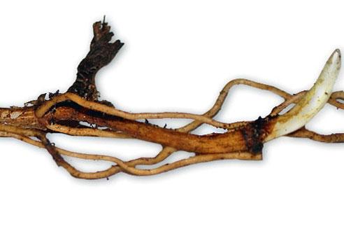 Длиннокорневищный венерин башмачок