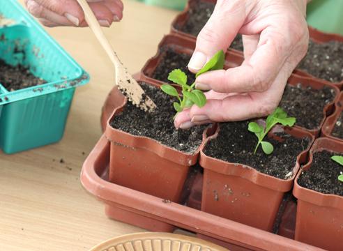 выращивание рассады астры, мастер-класс, пикировка сеянцев