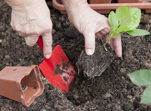 выращивание рассады астры, мастер-класс, высадка расады в грунт