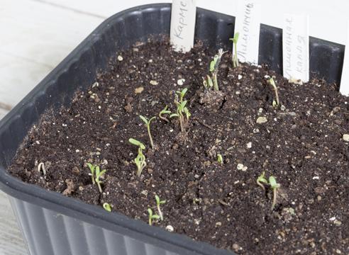 бархатцы, выращивание рассады, первые всходы
