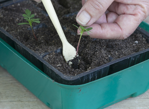 бархатцы, выращивание рассады, пикировка сеянцев