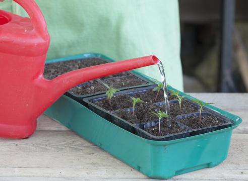 бархатцы, выращивание рассады,  полив распикированной рассады