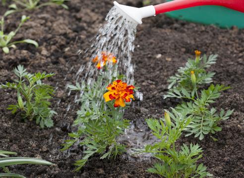 бархатцы, выращивание рассады, полив