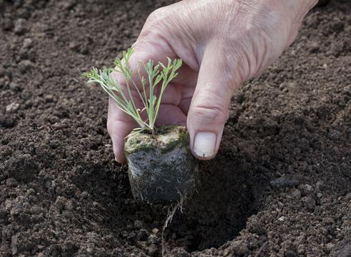 Эшшольция, выращивание рассады в торфяных таблетках, посадка эшшольции в грунт