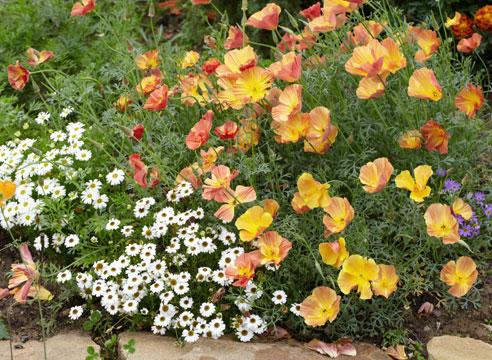 Эшшольция калифорнийская Абрикосовый шифон в цветнике