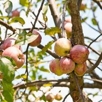 борная кислота; яблоня