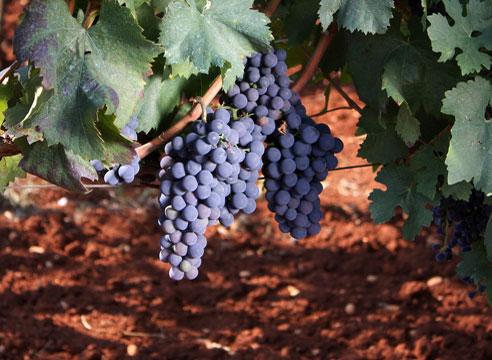 Пероноспороз (ложная мучнистая роса) на винограде