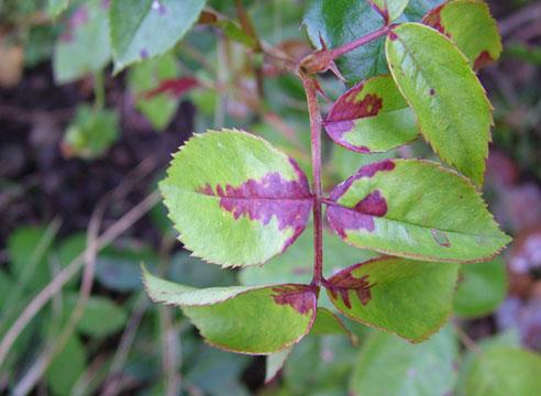 Пероноспороз (ложная мучнистая роса) на розе