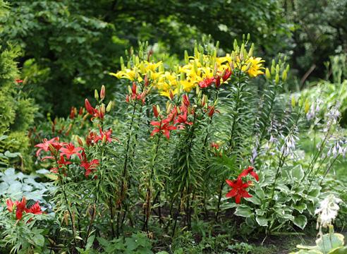 Лилии: посадка и уход в открытом грунте - выращиваем 26