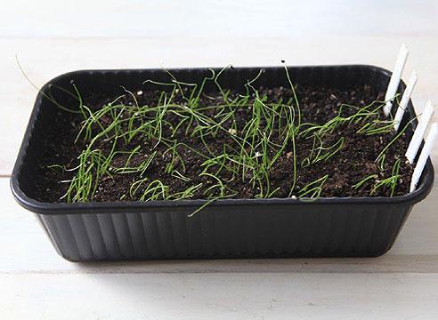 Лук рассадой, мастер-класс. Переносим посевы в прохладное светлое место