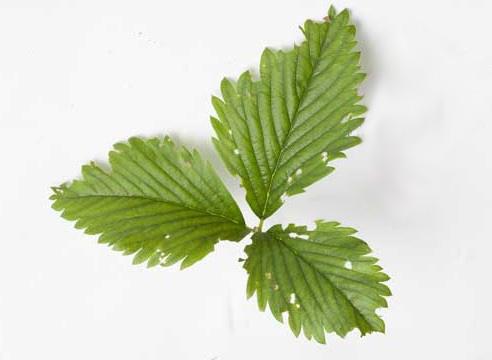Повреждения листьев земляники, малинно-земляничный долгоносик