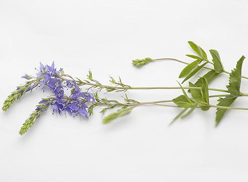 Вероника большая (Veronica teucrium, syn. Veronica austriaca ssp. teucrium)