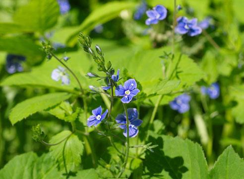 Растение вероника