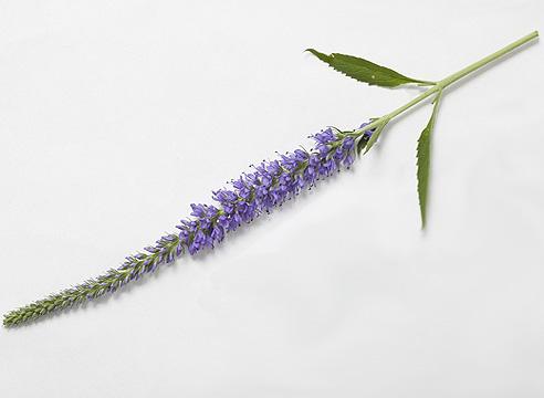 Вероника колосковая (Veronica spicata)