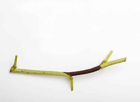 Пурпуровая пятнистость стеблей малины