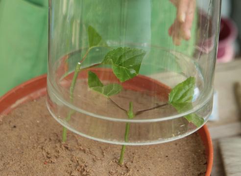 Размножение гортензии черенками
