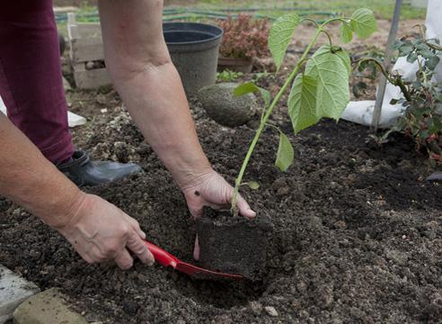 Как сажать кусты гортензии