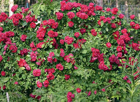 Розарий в маленьком саду