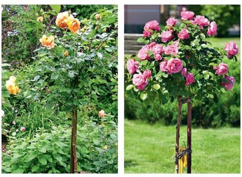 Розарий в маленьком саду, штамбовые розы