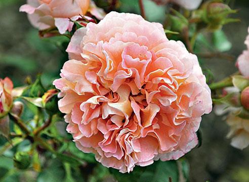 Роза Augusta Louise