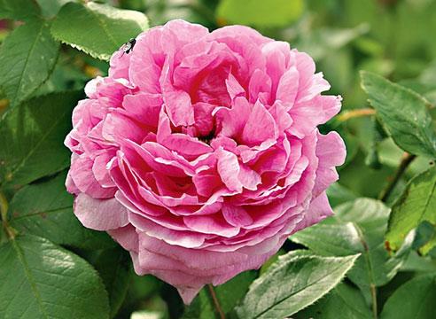 Роза Comte de Chambord