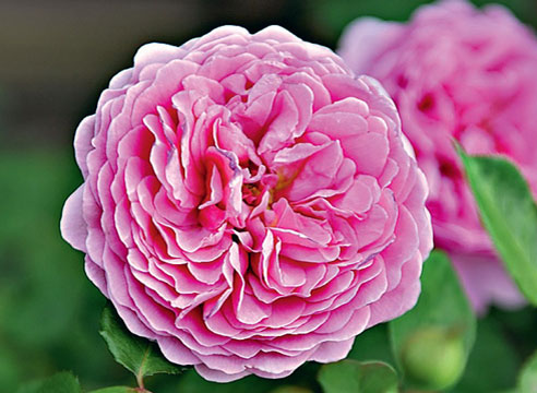 Роза Princess Alexandra of Kent
