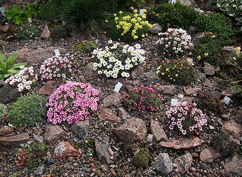 Сад Светланы Полонской, камнеломки порфирионы