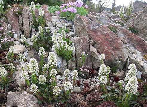Сад Светланы Полонской, ярутка голубоватая в апреле