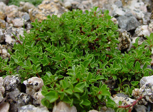 Salix serpyllifolia Mangart, ива тимьянолистная Mangart