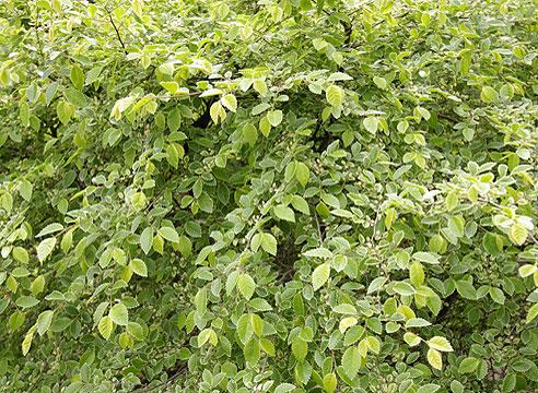 Ulmus parvifolia Frosty, вяз мелколистный Frosty