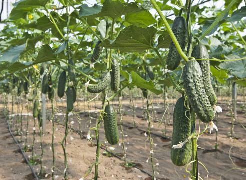 Как получить урожай огурцов в июне 6